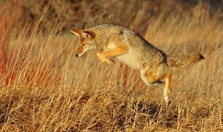coyote jumping